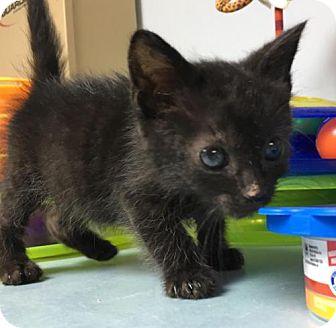 Domestic Shorthair Cat for adoption in Manteo, North Carolina - Hannah