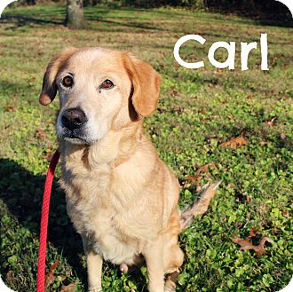 Golden Retriever Mix Dog for adoption in Melbourne, Kentucky - Carl
