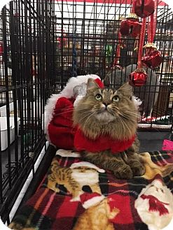 Maine Coon Cat for adoption in Harrisburg, North Carolina - Genavive