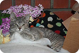 Domestic Shorthair Cat for adoption in Santa Rosa, California - Mirabelle