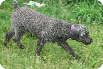 Miniature Poodle Dog for adoption in Prole, Iowa - Luke