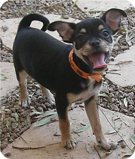 Pug/Chihuahua Mix Puppy for adoption in Phoenix, Arizona - Moses