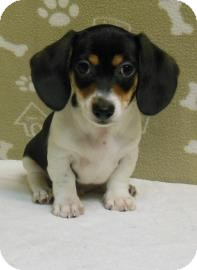 Dachshund Mix Puppy for adoption in Gary, Indiana - Jason