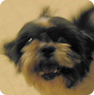 Shih Tzu Dog for adoption in MINNEAPOLIS, Kansas - Alfalfa