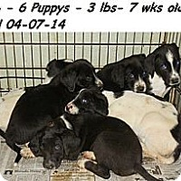 Adopt A Pet :: Lab/Pointer puppies! - Chicago, IL