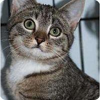 Domestic Shorthair Cat for adoption in Eldora, Iowa - Cheepa