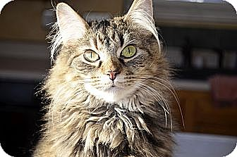 Domestic Mediumhair Cat for adoption in Xenia, Ohio - Tia