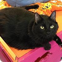 Domestic Mediumhair Cat for adoption in Topeka, Kansas - Ace