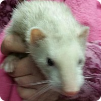 Adopt A Pet :: Meeky - Balch Springs, TX