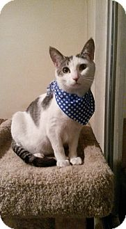 Domestic Shorthair Cat for adoption in San Diego, California - Callou