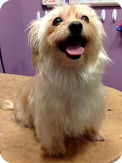 Yorkie, Yorkshire Terrier/Maltese Mix Dog for adoption in Lincolnwood, Illinois - Roxy