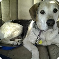 Labrador Retriever/Beagle Mix Dog for adoption in Gettysburg, Pennsylvania - Bingo