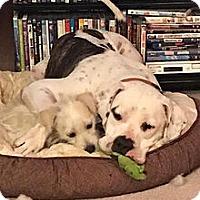 Adopt A Pet :: Daisey - Aurora, CO