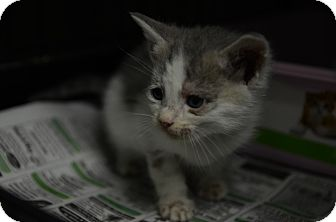 Domestic Shorthair Kitten for adoption in San Angelo, Texas - Nickel