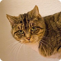 Domestic Shorthair Cat for adoption in Grayslake, Illinois - Vicki