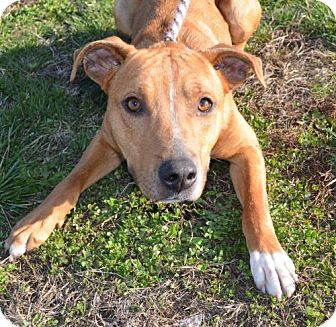 Boxer Mix Dog for adoption in Trenton, Missouri - Mars