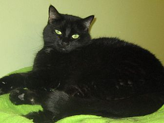 Domestic Shorthair Cat for adoption in Toledo, Ohio - Izzy