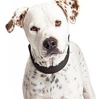 Adopt A Pet :: Gunner - Tempe, AZ