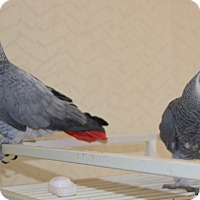 Adopt A Pet :: Skylar & Skeeter - St. Louis, MO