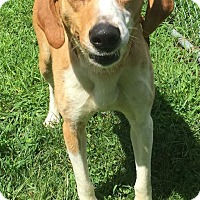 Labrador Retriever/Hound (Unknown Type) Mix Dog for adoption in Morehead, Kentucky - Wrigley