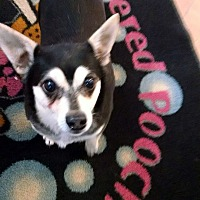 Chihuahua Mix Dog for adoption in kennebunkport, Maine - Romeo - in Maine
