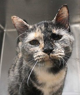 Domestic Shorthair Kitten for adoption in Fort Madison, Iowa - Priscilla