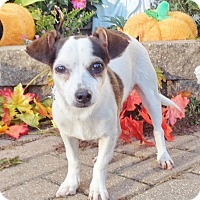 Rat Terrier Mix Puppy for adoption in West Chicago, Illinois - Laurent
