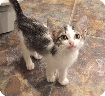 Domestic Shorthair Kitten for adoption in Flower Mound, Texas - Xander