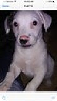 Jack Russell Terrier Mix Puppy for adoption in Rockville, Maryland - Baby Marilyn
