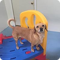 Chihuahua/Dachshund Mix Dog for adoption in Aurora, Illinois - Sandy