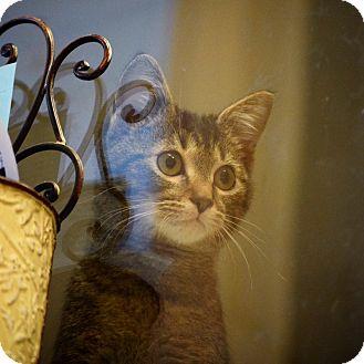 Domestic Shorthair Kitten for adoption in Dallas, Texas - Boo