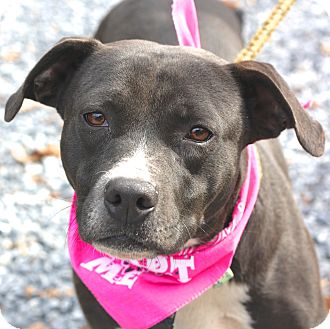 Boxer/Mountain Cur Mix Dog for adoption in West Grove, Pennsylvania - Nina