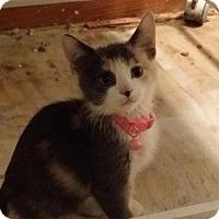 Domestic Shorthair Kitten for adoption in Oakhurst, New Jersey - Mya