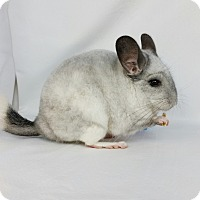 Adopt A Pet :: Lavender - AUGUSTA, ME