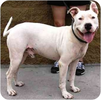 American Pit Bull Terrier/American Staffordshire Terrier Mix Dog for adoption in Gilbert, Arizona - Boy