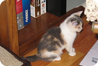 Calico Kitten for adoption in Harrisburg, North Carolina - Misty