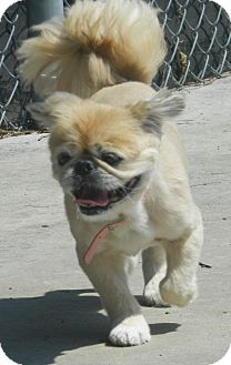 Pekingese Dog for adoption in Mays Landing, New Jersey - Bitsy-VA