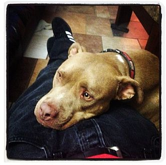 Pit Bull Terrier Dog for adoption in Santa Monica, California - Tank