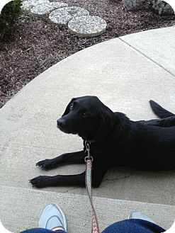 Labrador Retriever Mix Dog for adoption in Youngstown, Ohio - Ace