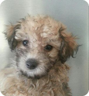 Maltese/Yorkie, Yorkshire Terrier Mix Puppy for adoption in Silver Lake, Wisconsin - MARBLES