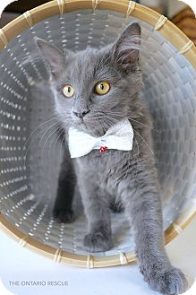 Russian Blue Kitten for adoption in Montclair, California - Buddy