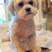 Adopt A Pet :: CHASE - Winnetka, CA