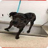 Adopt A Pet :: FLUFFERS - Bakersfield, CA