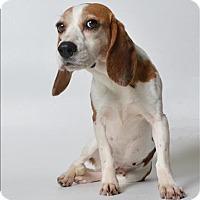 Adopt A Pet :: Halley - Raleigh, NC