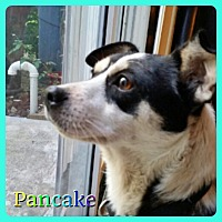 Adopt A Pet :: Pancake - Hollywood, FL