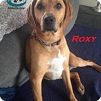 Adopt A Pet :: Roxy - Loves squeaky toys! - Huntsville, ON