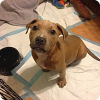 Pit Bull Terrier Mix Puppy for adoption in East Rockaway, New York - Mazy