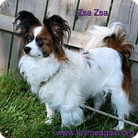 Adopt A Pet :: Zsa Zsa - Needs Foster - Bloomington, MN