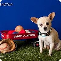 Adopt A Pet :: Winston - Mesa, AZ