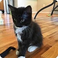 Adopt A Pet :: Artemis - Fort Collins, CO